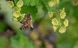 Honey bee(1)